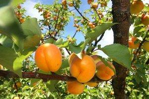 Apricot+harvest+2++2009